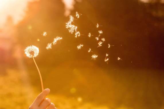 celebration of life services - dandelion in the wind